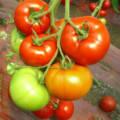 Томат красным красно характеристика и описание сорта