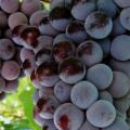 Сорта винограда кардинал