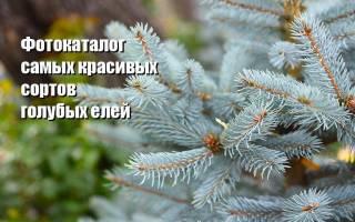 Сорта елок