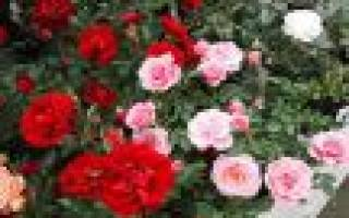 Сорта розы патио