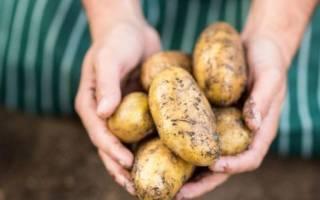 Сорта картофеля для черноземья устойчивые к засухе