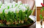 Сорта для выгонки тюльпанов