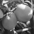 Сорта персика для подмосковья