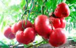 Томат сахар розовый характеристика и описание сорта