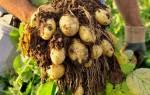 Сорта картофеля королева анна
