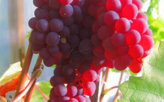 Сорта красного винограда