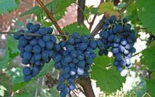 Сорта винограда позднего срока созревания