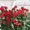 Сорта роз голландских
