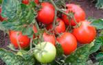 Сорта томатов устойчивые к фитофторе