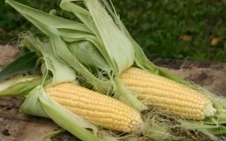 Сорта кукурузы для подмосковья