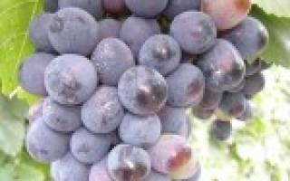 Сорта винограда устойчивые к болезням вкусные простые в уходе