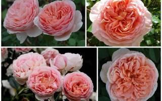 Сорта роз для букетов