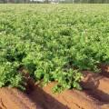 Сорта картофеля среднепоздние