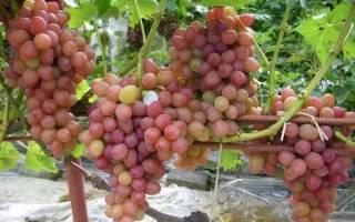 Сорта винограда очень ранние