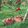Сорта яблонь для центрального черноземья