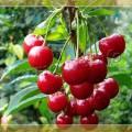Сорта вишни опылители