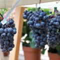 Сорта винограда на урале