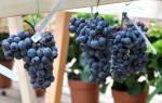 Сорта винограда для урала
